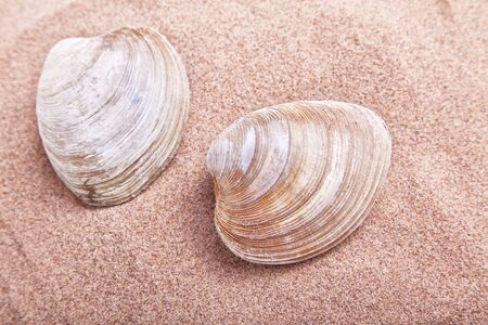 An edible clam, the quahaug clam, (Venus mercenaria) of the Atlantic coast of North America, having a hard rounded shell. Also called hard-shell clam, round clam. photo