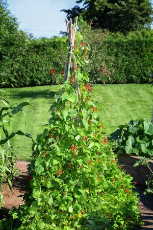 trellis: Scarlet runner beans grown on a triangular pyramid shaped bamboo frame.