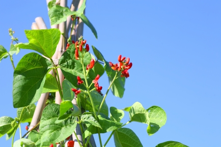 Scarlet runner beans grown on a triangular pyramid shaped bamboo frame.