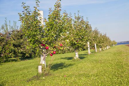 Honeycrisp apple trees in a farm orchard. photo