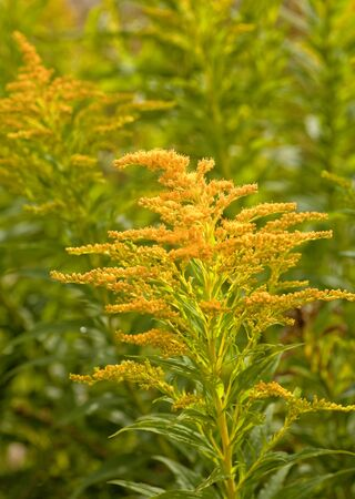 canadensis: Goldenrod growing in the wild. Stock Photo