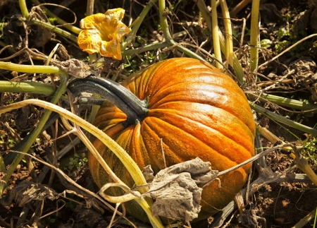 A fall pumpkin in the field after a hard frost that has killed all the foliage. photo