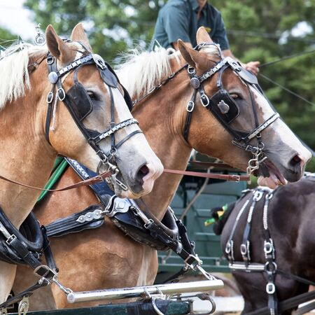 blinkers: Draft horses in full harness at a country farm fair  Stock Photo