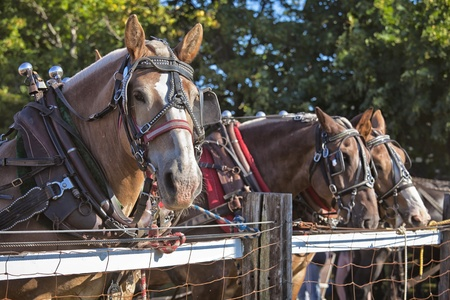 blinkers: Draft horses in full harness at a country farm fair. Stock Photo