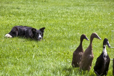 A watchful young border collie alert in its herding duties. photo