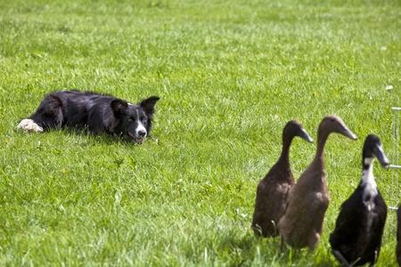 herding: A watchful young border collie alert in its herding duties. Stock Photo