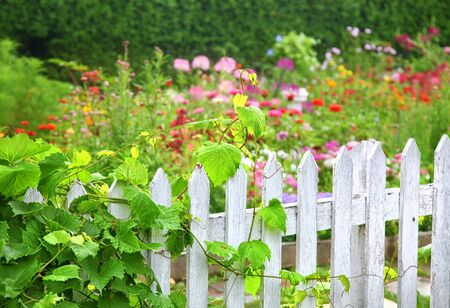 A grape vine growing on an old white picket fence surrounding a flower garden. Stock Photo