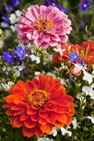 lobelia: Bright colored zinnias and lobelia in the summer garden