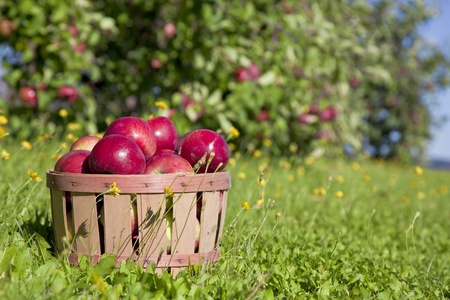 apples basket: Autumn view from the farms apple harvest.