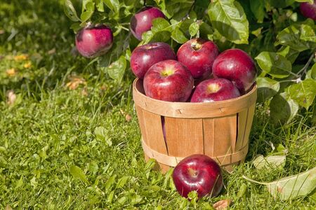 Views of a farm apple orchard in the fall. Stock Photo - 15737092
