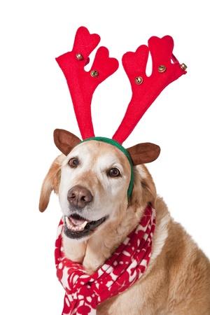 labrador christmas: A mature golden labrador outfitted for Christmas.