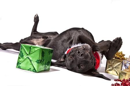 sprawled: Black Lab type dog playfully posing with Christmas presents.