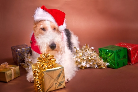 sprawled: A wire fox terrier dressed up for Christmas.