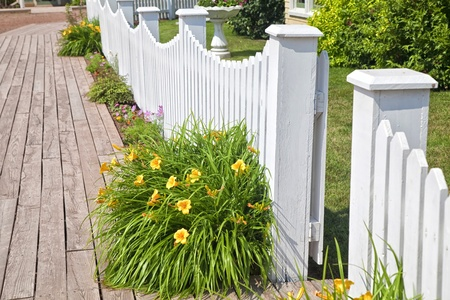 A bright yellow flowerin daylily against a white picket fence. photo