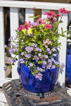 lobelia: Blue glazed terracotta plant pots filled with annual flowers used as home decoration.