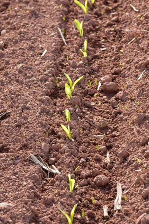 emerged: Newly emerged corn seedlings in a farmers field.