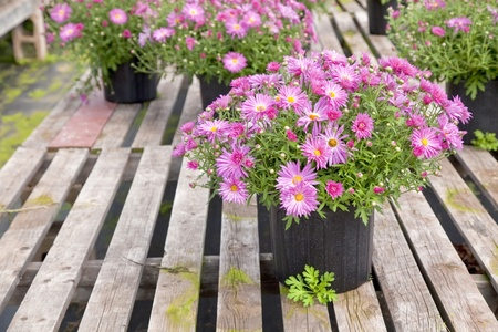 Potted perennial garden asters in a retail greenhouse or nursery. photo