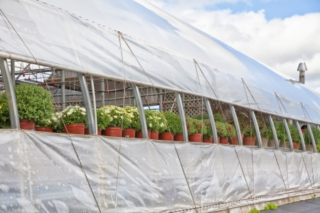 venting: Commercial greenhouse with venting and a crop of fall mums. Stock Photo