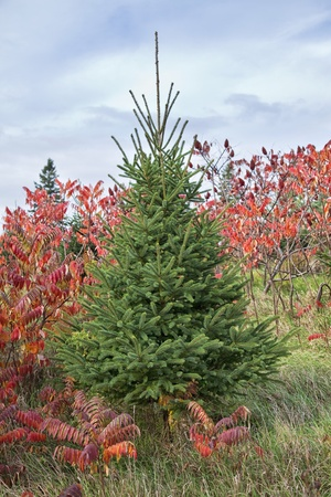 picea: White spruce contrasting with staghorn sumac in its contrasting fall coloration. Stock Photo