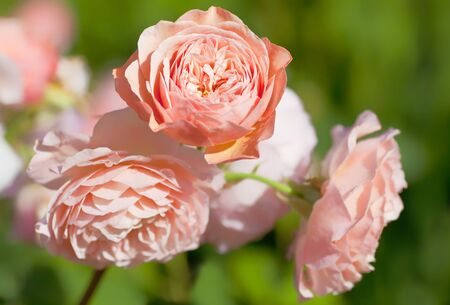 english rose: An English rose from the rose breeder David Austin, called Leander