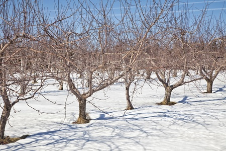 bare trees: An apple orchard lying dormant under the snows of winter. Stock Photo