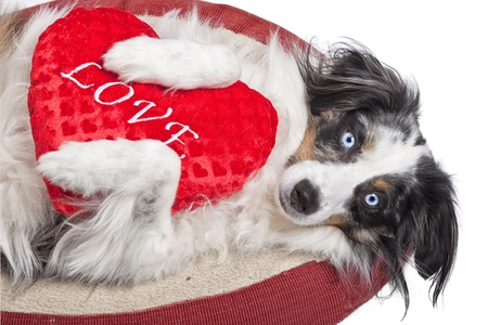An Australian Shepherd dog clutching a 'love' heart pillow. photo