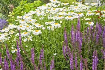 perennial: Shasta daisies and perennial salvia in the summer garden.