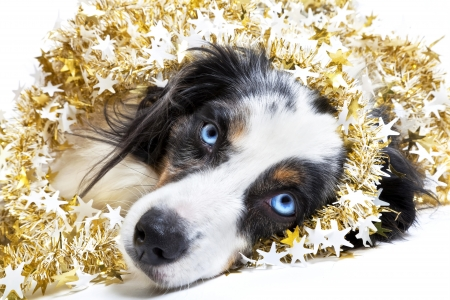 australian shepherd: Miniature australian shepherd celebrating Christmas and wrapped in a Christmas garland on a white background. Stock Photo