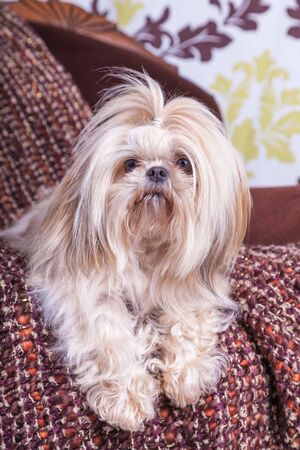 shih: Young shih tzu posing on a chair against a damask background