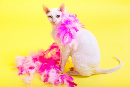 Cornish Rex cat with her pink boa on a yellow background  photo