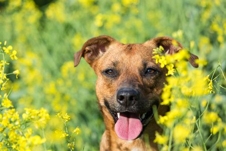 Small dog happy in the canola  photo