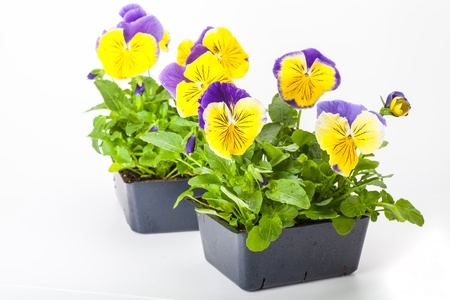 transplants: Pansy transplants grown in greenhouse packs. Stock Photo