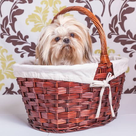 shih: Pretty young shih tzu on in a basket against a damask background.