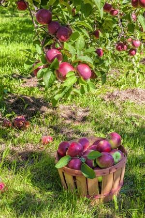 bushel: Bushel basket full of freshly picked apples in the orchard.