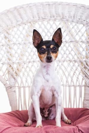Toy fox terrier studio portrait.