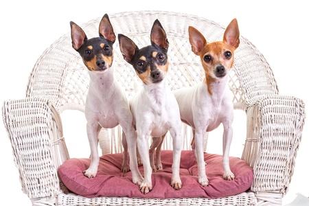 toy terrier: Toy fox terrier studio portrait