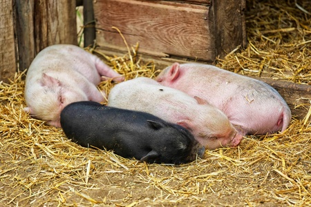 Pot bellied piglets sleeping in the straw. photo