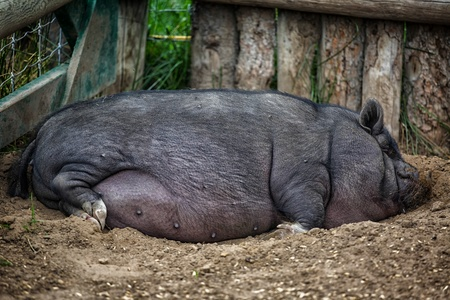 Large pot bellied pig sleeping in the farmyard dirt  photo