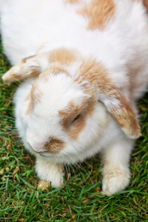Lop eared rabbit laying on the grass  photo