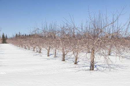 snows: An apple orchard lying dormant under the snows of winter. Stock Photo