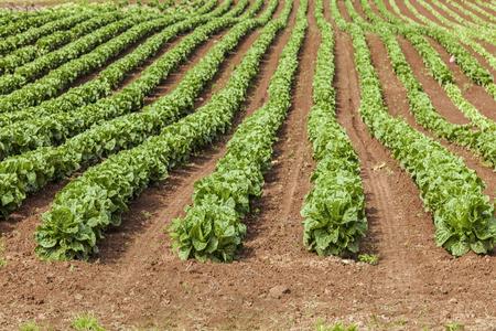 romaine: Springtime farm field of romaine lettuce in rural Prince Edward Island, Canada.