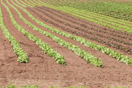 romaine: Springtime farm field of lettuce in rural Prince Edward Island, Canada.