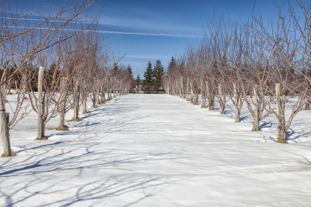 Snow blankets a rural apple orchards in the depths of winter. Stock Photo - 23024403