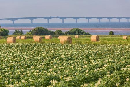 confederation: Un campo in Edward Island rurale Principe, Canada di piante di patate in piena fioritura Il Ponte Confederazione nel lontano orizzonte Archivio Fotografico