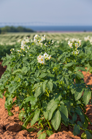 confederation: A field in rural Prince Edward Island, Canada of potato plants in full flower   The Confederation Bridge is in the distant horizon