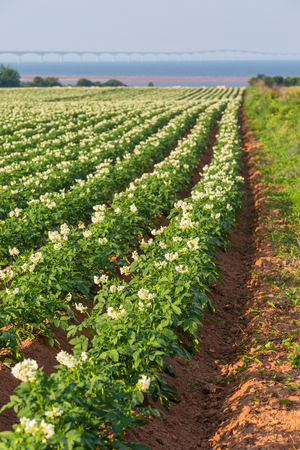 confederation: A field in rural Prince Edward Island, Canada of potato plants in full flower.  The Confederation Bridge is in the distant horizon.