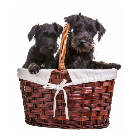 minature: Miniature black schnauzer puppies posing in a basket on a white
