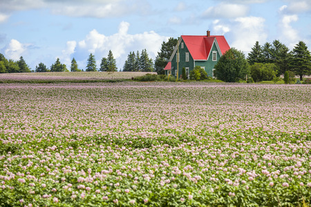 Pink flowering potato plants on a potato farm in rural Prince Edward Island, Canada. photo