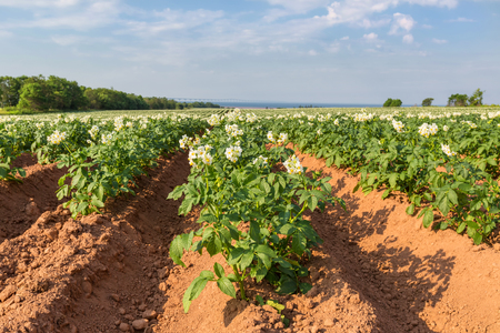 A field in rural Prince Edward Island, Canada of potato plants in full flower   The Confederation Bridge is in the distant horizon  photo