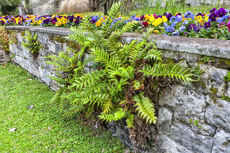 pansies: Decorative garden ferrn growing in a coral rock wall in a subtropical garden. Stock Photo